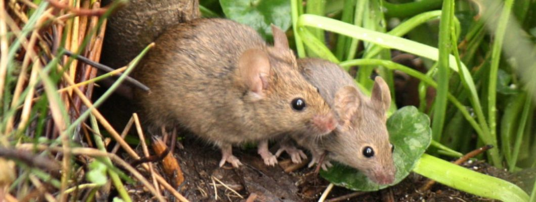 After Evidence Of Mice Competitors Is Fine